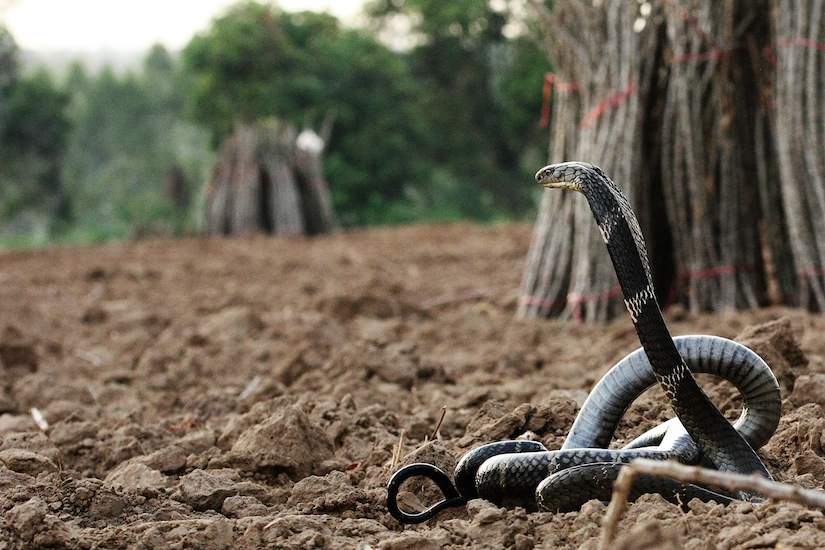 The King Cobra is Endangered in the Eastern Ghats